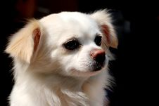 Free A   Puppy Look To Right Royalty Free Stock Images - 4361409