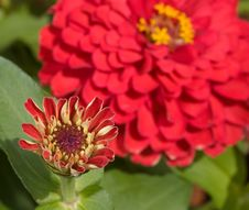 Free Red Zinnia Blooming Stock Images - 4361494