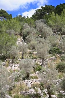 Free The Olive-trees Stock Photos - 4361793