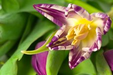 Free Inside A Tulip Royalty Free Stock Image - 4362216