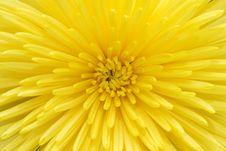 Free Chrysanthemum Stock Photo - 4362250