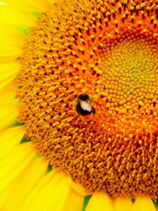 Free Sunflower And A Bee Stock Images - 4363774