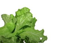 Free Lettuce Stock Photo - 4364590