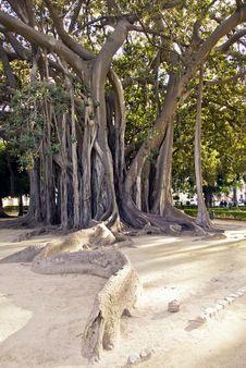 Gigantic Tree Royalty Free Stock Images