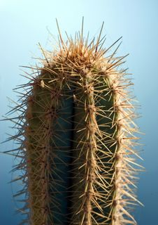 Free Cactus Royalty Free Stock Photography - 4367017