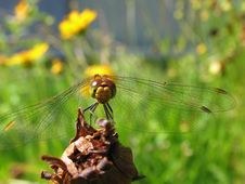 Free Dragonfly On A Background Flowers Royalty Free Stock Photo - 4367135