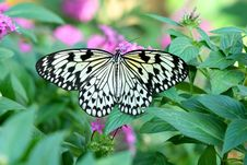 Paper Kite Butterfly - Idea Leuconoe Stock Photo