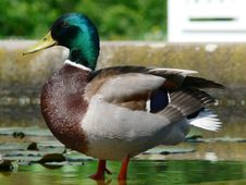 Free The Duck Royalty Free Stock Photography - 4367417