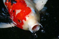 Coy Fish Royalty Free Stock Photo