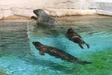 Free Sea Lions At Play Stock Photography - 4367842