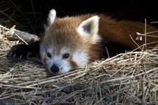 Free Red Panda Stock Images - 4368224