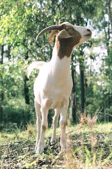 Free Goat Royalty Free Stock Photo - 4368315