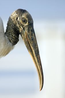 Free Wood Stork Stock Images - 4368334