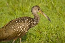 Free Limpkin In The Wet Grass Stock Image - 4368411