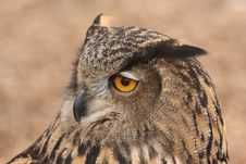 Free Eurasian Eagle Owl 2 Royalty Free Stock Photos - 4368568