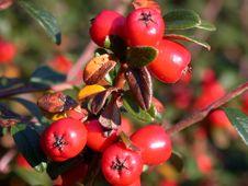 Free Red Berries Stock Photo - 4368860