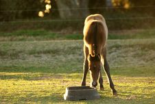 Free Thirsty Foal Stock Image - 4368991