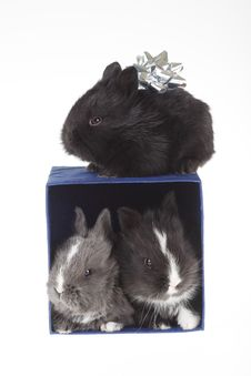 Three Bunny And A Blue Gift Box Royalty Free Stock Photo