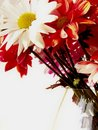 Free Red, White, And Pink Daisies Royalty Free Stock Photos - 4377938
