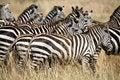 Free Zebra (Kenya) Stock Photography - 4379672