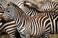 Free Zebra (Kenya) Stock Photo - 4379880