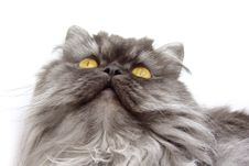 Free Persian Cat Royalty Free Stock Photography - 4370687