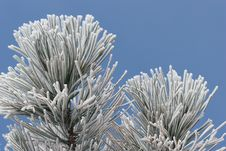Free Ice Frost On Pine Tree Stock Photography - 4371972