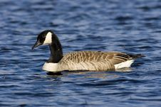 Free Canadian Goose Royalty Free Stock Image - 4372076