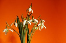 Free Snowdrops Stock Photos - 4372763
