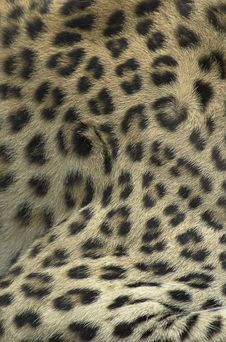 Free Fur Of Leopard Stock Photo - 4372860