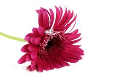 Free Pink Flower With Ring Royalty Free Stock Image - 4373956