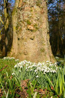 Free Springtime Snowdrops Stock Image - 4374711