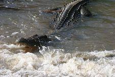 Free Alligator Attack Royalty Free Stock Image - 4375596