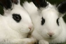 Free Twin Rabbits Royalty Free Stock Photo - 4376165