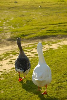 Free Two Geese Walking Stock Photos - 4376383