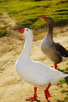 Free Two Geese Walking Royalty Free Stock Images - 4376389