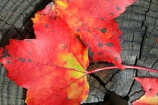 Free Red Leaves Royalty Free Stock Photo - 4376835