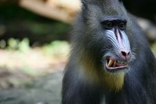 Free Mandrill Baboon Stock Images - 4376884