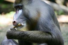 Free Mandrill Baboon Royalty Free Stock Image - 4376906