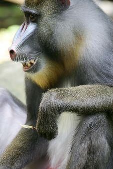 Free Mandrill Baboon Stock Image - 4376921