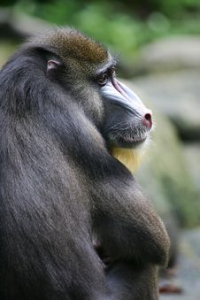 Free Mandrill Baboon Royalty Free Stock Image - 4376976