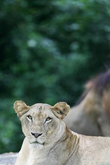 African Lions Royalty Free Stock Image