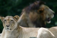 African Lions Royalty Free Stock Images