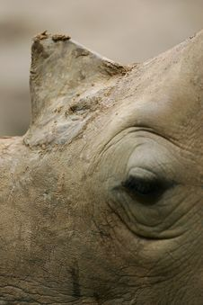 Free African White Rhino Royalty Free Stock Photo - 4377355