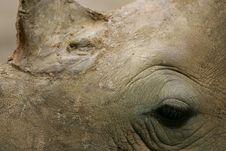 Free African White Rhino Stock Photos - 4377373