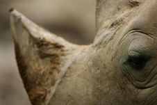 Free African White Rhino Stock Images - 4377394