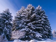 Free Frosted Evergreens & Blue Sky Royalty Free Stock Photo - 4377775
