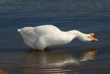 Free Male Goose Reflection Stock Photos - 4378023