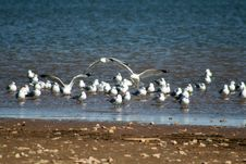 Free Seagulls Gathering Stock Images - 4378024