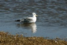 Free Sea Gull Reflection Royalty Free Stock Photos - 4378068